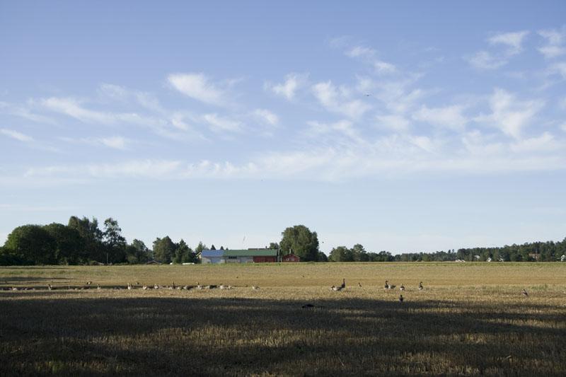 Канадские гуси около Тенсберга